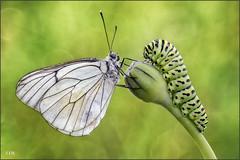 Cucu !! (- JAM -) Tags: butterfly caterpillar