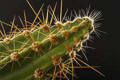 Macro Mondays - Backlit (Kev Gregory (General)) Tags: macromondays backlit cactus plant needles sharp green silhouette black background high light highlight kev gregory canon 7d macro mondays theme challenge 100 100mm f28 usm ef helicon focus stack