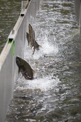 Weaver Creek Spawning Channel (Mason Aldridge) Tags: canon 6d magicdrainpipe 80200l 80200 f28 fish salmon spawning sockeye trout spring nature canada britishcolumbia fraservalley mountains fall autumn lifecycle informative educational magic coho sockeyesalmon spawn eggs