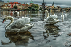 Prague (Dennis Herzog) Tags: birds swans rivers europe czechrepublic prague cities europeancities fauna waterbirds reflections