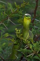 Boomslang (Christopher Caine) Tags: boomslang tree snake venomous defensive dispholidus typus viridis bushveld herpetology reptile