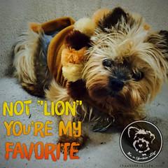You are the BEST! (itsayorkielife) Tags: yorkiememe yorkie yorkshireterrier quote