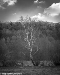Birke aufgenommen am Stocksee (Schleswig-Holstein) - Birch photographed at Stocksee (Schleswig-Holstein) (klausmoseleit) Tags: birken jahreszeit pflanzen stocksee winter orte bume damsdorf schleswigholstein deutschland de