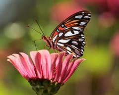 Gulf fritillary _ (justkim1106) Tags: butterfly insect flower zinnia nature gulffritillary bokeh beyondbokeh