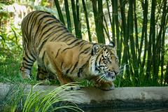 Suka (ToddLahman) Tags: sumatrantiger suka sandiegozoosafaripark safaripark canon7dmkii canon canon100400 tigers tiger tigertrail tigercub teddy joanne water pond
