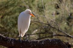 Heron garde boeuf (Le Méhauté Sébastien) Tags: oiseaux camargue pont du gau