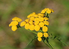 Tansy (vischerferry) Tags: tansy wildflower yellowwildflower plant flora tanacetumvulgare bokeh