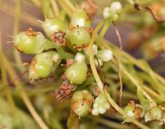maturing capsules, common dodder (ophis) Tags: solanales cuscutaceae cuscuta cuscutagronovii commondodder dodder parasite