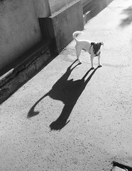 long weekend long shadow (Babszi) Tags: shadow dog terrierlife terrier jackrussell street budapest hungary bw bnw blackandwhite monochrome minimal
