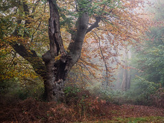 Burnham Beeches (Damian_Ward) Tags: damianward photography ©damianward burnhambeeches burnham buckinghamshire cityoflondoncorporation ancientwoodland tree woodland woods forest autumn autumnal fall