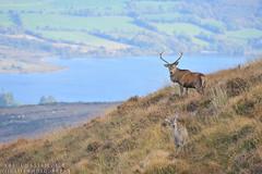 Kerry mountains Red deer (Karl Wild) Tags: red deer ireland kerry killarney autumn rut stag antlers