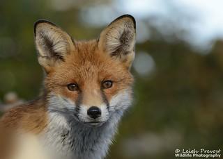 Red Fox, Vulpes vulpes