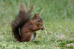 Red Squirrel (Sciurus vulgaris) (Fly~catcher) Tags: snaizeholme sciurus vulgaris red squirrel
