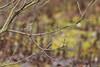 Hermit Thrush, Middleton Island, AK. (Cameron Eckert) Tags: birds birding beauty biodiversity birder birdwatcher bird birdwatching biosphere ecosystem ecological ecology ebird wilderness wild ocean ornithology sea sky avian avifauna alaska animal awesome pacific pacificocean flight feathers migration middleton migrant miracle