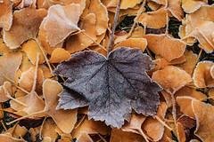 Leaves (Elbmaedchen) Tags: klte laub bltter leaf leaves autumn herbst ahorn