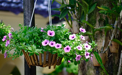 Hanging Petunia flower pot at garden (phuong.sg@gmail.com) Tags: background basket beautiful beauty bloom blooming color colorful country design ecological ecology fence field flora flower flowerpot front garden gardening geranium green home house leafy leaves light macro mourning natural nature ornamental outdoor park pergola petunia pink plant plants potted purple spring springtime summer sun sunshine terrace veranda