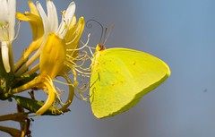 7K8A3731 (rpealit) Tags: scenery wildlife nature chincoteaque national refuge cloudless sulphur nectaring honeysuckle butterfly flower