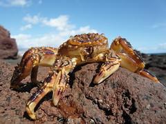 Tenerife Crab. (Flyingpast) Tags: wb2000 tl350 crab animal nature tenerife canaryislands lava rock macro spain sky blue sunny creature shell elmedano claws wildlife