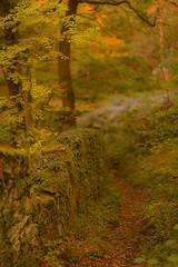 The Path Taken (RD400e) Tags: canon eos 5d mk3 ef 85mm f12 gitzo bwpolariser padley gorge peakdistrictnationalpark peakdistrict trees woods autumn dof outdoors