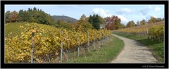 Strolling around @ Baden-Baden 60 (M.J.Woerner) Tags: forest autumn wood foliage leaves woods october november laub herbstlaub autumnforest fallfoliage fallleaves herbstwald autumnfoliage forst spaziergang badenbaden hills northernblackforest rebland foothills blackforest landscape winegrowing village gallenbach gilded gold vineyard vine