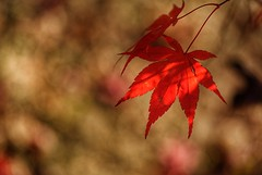 Red Maple Leaf (JPShen) Tags: maple red leaf leaves bokeh light sun