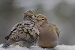 Early Spring Romance (maryanne.pfitz) Tags: mourningdoves birds wildlife romance nature breeding courting earlyspring snow tomahawk wisconsin lincolncounty pair map2513 maryannepfitzinger