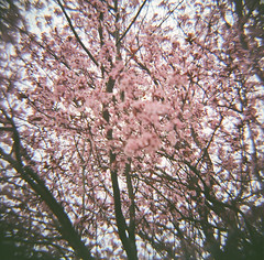 (after october) Tags: 120 film oregon portland spring lomography blossoms plum pacificnorthwest dianaf plumblossoms floweringplum titlefromheartbeats bytheknife