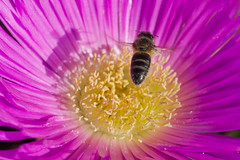 Let  It  Bee..... (aminefassi) Tags: africa shadow copyright flower color colour macro nature fleur rose yellow jaune insect lumix flor panasonic bee morocco maroc processing maghreb mauve 20mm pollen  process blume abeille insecte 2012 rabat lightroom   m43  maroko  moroko  butine marueccos temara gf3 harhoura microfourthirds 20mmf17 dmcgf3 aminefassi