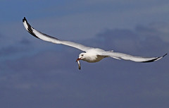 Silver Gull : Happy !!! (Clement Tang ** Busy **) Tags: nature inflight feeding wildlife seagull australia bluesky victoria avian birdwatcher stkildabeach portphillipbay silvergull larusnovaehollandiae smallfish autumnmorning closetonature concordians