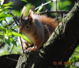 Eichhörnchen im Pfirsichbaum, NGIDn636755503