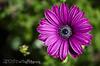 looking up (©DocTony Photography) Tags: plant flower macro flora nikon bokeh korea fuschia petal seoul zinnia everland doctony d7000