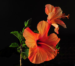 Orange Hibiscus From the Garden (Bill Gracey) Tags: flowers red orange plant flores flower macro green nature fleur colors garden leaf gardening flor blossoms hibiscus naturalbeauty softbox macrolens macrophotography strobes offcameraflash nikoncreativelightingsystem nikoncls stobist tabletopphotography sb700