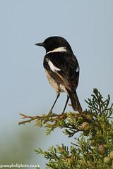 Stonechat (Mallorca) (gcampbellphoto) Tags: bird nature spain wildlife mallorca stonechat passerine sacoma puntadenamer gcampbellphotocouk