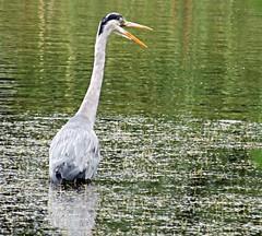 Grey Heron - Ardea cinerea (Rob Felton) Tags: bird heron bedford pond bedfordshire ardeacinerea felton wading ardeidae greyheron wader roxton robertfelton balancingpond