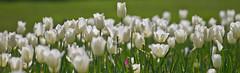 Tulips (photog-geek.com) Tags: white flower color nature garden spring josh tulip bloom dallasarboretum