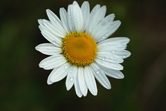 Fresh as a daisy (dlsteele01) Tags: pictures flowers light plants usa sun sunlight lake flower color art nature water floral beauty rain canon virginia drops cool flora afternoon artistic photos bokeh pics earth walk pic raindrops waterdrops clarksville flowerbasket naturesfinest kerrlake flowerotica masterphotos daisytypeflowers buggsislandlake flowerpicturesnolimits flowersandcolors perfectsunsetssunrisesandskys excellentsflowers auniverseofflowers flickrsawesomeblossoms awesomeblossoms anuniverseofflowers coloursinourworld colourinourworld naturescreations vipveryimportantphotos floralfantasia beautiflower