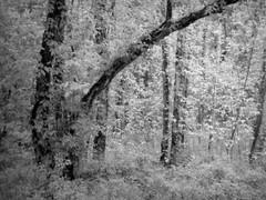 In the Greenwood--b&w (David Hoffman '41) Tags: scenery landscape rural country forest woods trees creek nature green bw rain wet may fantasy dream unreal perception charlottecounty virginia platinumheartaward blackandwhite