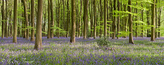 Bluebells Pano (etunar) Tags: morning panorama plant flower tree bluebells forest sunrise woodland spring hampshire trunk bluebell beech beechtree micheldever bbcspringwatch spring2013