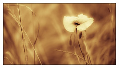 The Alone Poppy (leon_1970) Tags: bw field gold nikon poppy campo oro d800 grano papavero 105mmf28 105macro nikonista