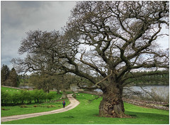 Champion (bob the bolder) Tags: uk tree oak champion cumbria castlecarrock tottergill