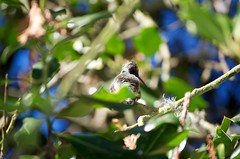DSC_1518 (john.r.d.reynolds) Tags: goldengatepark birds wildlife hummingbirds