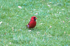 Cardinal (aka Buddy) Tags: red green bird grass canon eos rebel newjersey spring cardinal nj shrewsbury og monmouthcounty 2013 550d t2i efs18135mmf3556is