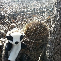 Badger's new mate! #badger_does_australia #echidna (TristanBlattman) Tags: square squareformat normal iphoneography instagramapp uploaded:by=instagram