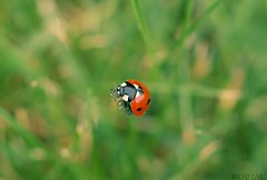 Ladybird (Camille.M ~) Tags: macro nature colors couleurs insects ladybird coccinelle sonyaf50mmf28macro sony290