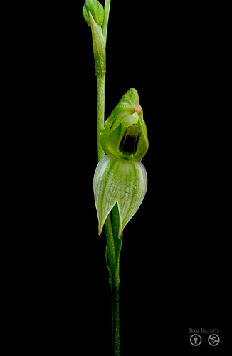 Spring loaded Pterostylis longifolia