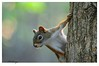 Got any Food? (Guaranteed(79)) Tags: red tree nikon squirrel wildlife d3200 me2youphotographylevel2 me2youphotographylevel1