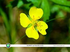 BLODROT Lat Potentilla erecta (StefanOlaison) Tags: flower sweden flor blomma sverige suecia vstragtaland blodrot potentillaerecta tormentil blutwurz bollebygd tepperot blmura rtvn opretpotentil