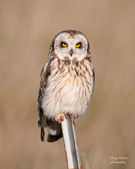 short-eared-owl (Pattys-photos) Tags: idaho shortearedowl marketlakewildlifemanagementarea