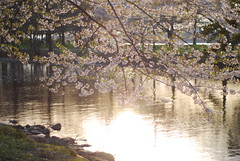 (La Miimi) Tags: spring charlesriver blossoms cherryblossoms