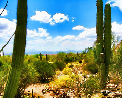 Saguaro Cacti, Arizona-Sonora Desert Museum, Tucson, Arizona (Digital Cartoon)